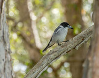 Butcherbird on a dead branch stock images
