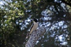 Butcherbird di appoggio argento Immagine Stock Libera da Diritti
