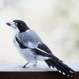 Butcherbird Royalty Free Stock Image