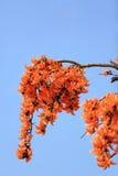 Butea monosperma flower blooming on tree. stock photography