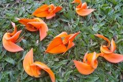 Butea monosperma flowers Royalty Free Stock Photo