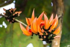 Butea monosperma kwiat Fotografia Stock