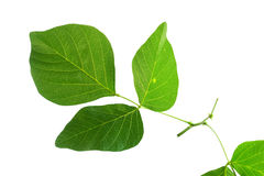 (Butea monosperma (Lam.) Taub.), leaf form and texture Royalty Free Stock Photo