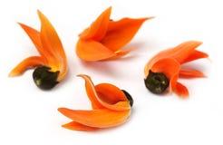 Butea Monosperma of Palash-bloem stock afbeeldingen
