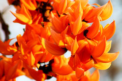 Butea monosperma. A perennial flower that blooms in summer, with distinctive orange flowers, is a symbol that goes into heat and aridity.A perennial flower that stock image