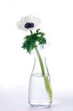 butelka anemonowy kwiat Zdjęcia Stock