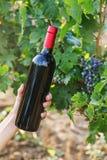 Butelka czerwone wino w ręce przeciw winorośli tłu fotografia royalty free