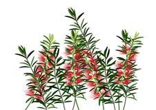 Butelki bruch kwiat lub czerwieni callisemon kwiat na białym tle Zdjęcie Stock