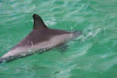 butelki delfinu nos Fotografia Stock