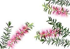 Butelki muśnięcie kwitnie lub callistemon, menchia kwitnie na białym tle, wektor Zdjęcie Stock