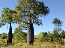 Butelkuje drzewa Brachychiton rupestris w odludziu Queensland, Australia Obraz Royalty Free
