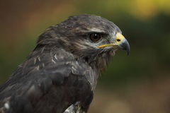 Buteo Stock Photos