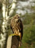 Buteo buteo Stock Photography