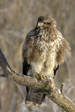 Buteo buteo Stock Photos