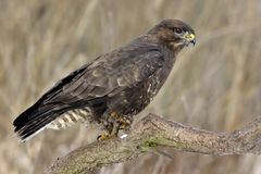 Buteo buteo. The Common Buzzard (Buteo buteo Royalty Free Stock Images