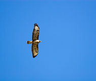 Buteo buteo, Common Buzzard Stock Image