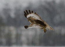 Buteo buteo. Filmed in its natural environment Stock Photos