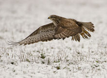 Buteo buteo. Filmed in its natural environment Stock Images