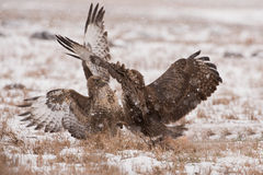 Buteo buteo. Its natural environment Stock Photos