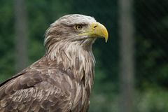 Buteo buteo. A Buteo buteo looking to the right Stock Photography
