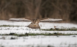Buteo buteo. In natural habitat Royalty Free Stock Photos