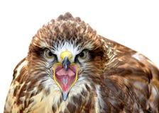 Buteo común del Buteo del halcón Imagenes de archivo