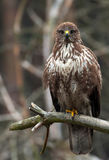Buteo commun de Buteo de Buzzard photo libre de droits