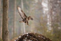 Buteo comune del Buteo di Buzzard nell'inverno fotografie stock libere da diritti