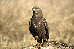 Buteo del Buteo dell'uccello Fotografie Stock