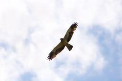 Buteo del Buteo, halcón común Fotos de archivo