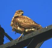Buteo del halcón/del Buteo imagen de archivo