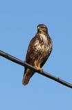 Buteo del halcón o del Buteo Imagenes de archivo