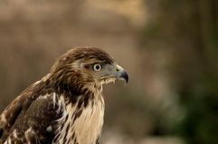 Buteo jamaicensis Stock Photo