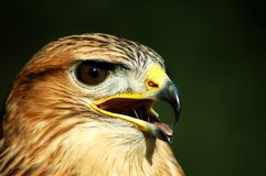 Buteo jamaicensis Royalty Free Stock Photography