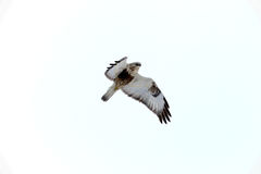 Buteo Lagopus, Rough-legged Buzzard Flying Royalty Free Stock Photo