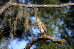 Buteo lineatus, red-shouldered hawk Stock Photos