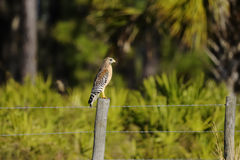 Buteo lineatus, red-shouldered hawk Royalty Free Stock Image