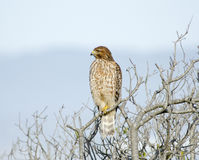Buteo lineatus, Red Shouldered Hawk. True wildlife, Buteo lineatus, a red-shouldered hawk, front view, at Arcata Bay in Humboldt County, California in winter stock photo