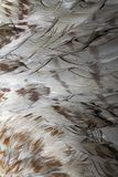 Buteo plumage Stock Images