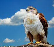 Buteo regalis Stock Image