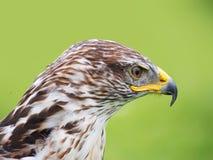 Buteo regalis - Ferruginous buzzard. Bird of prey. Royalty Free Stock Photography