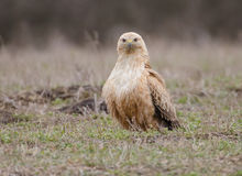 Buteo rufinus Royalty Free Stock Images