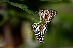 Buterflies do cal de Singapura Imagem de Stock