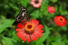 Buterfly在有红色花的庭院里 免版税图库摄影