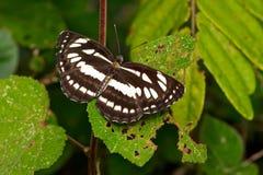 buterfly общий sergeant стоковое изображение rf