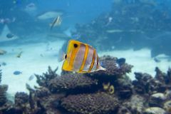 Buterfly. Beaked Coralfish (Chelmon rostratus) swimming over coral reef Stock Photos