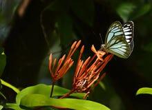 Buterfly Fotografía de archivo libre de regalías