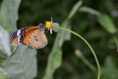 Buterfly Fotografia Stock Libera da Diritti