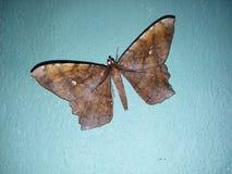 Buterfly Imagem de Stock Royalty Free