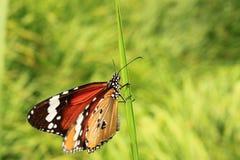 ิีbuterfly in backyard Royalty Free Stock Photos